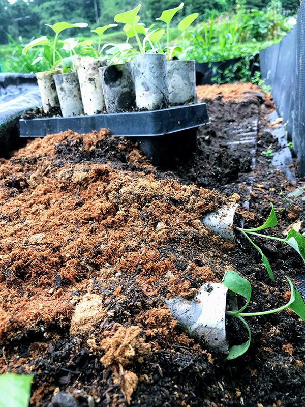 ゴボウの波板栽培植え付け前
