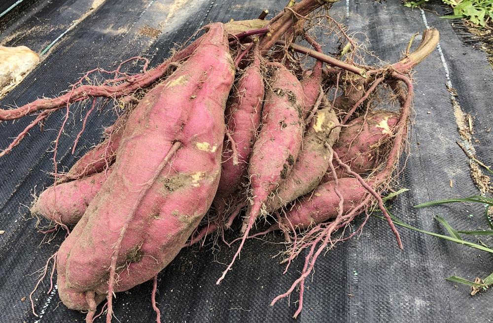 収穫したサツマイモ