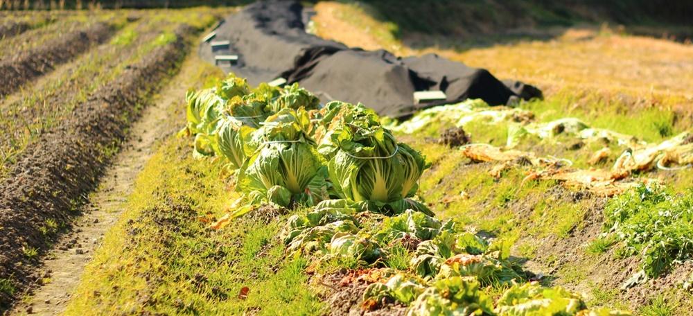 白菜が育つ菜園