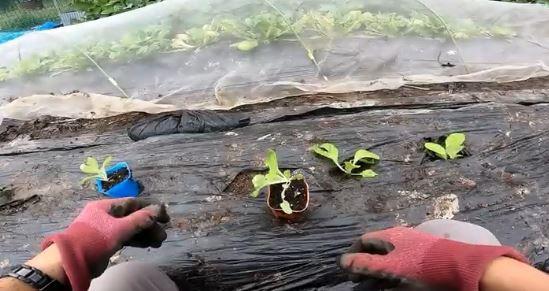 白菜苗の植え付け